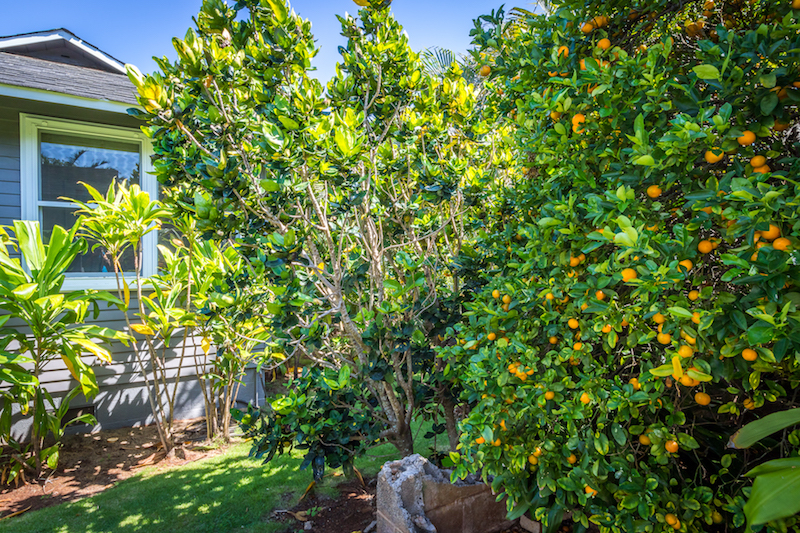 Citrus in the Yard at a property on Kuau Point